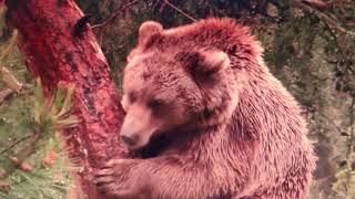 L'ours brun - David Jouteur