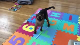 Burmese cat Matilda meows  for help