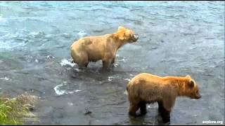 Дикая природа Аляски Зрелые медведи гонят молодых от рыбных мест у водопада реки Брукс(МЕДВЕДИ в ЗАПОВЕДНИКЕ и ДИКАЯ ПРИРОДА WILDLIFE ЖИВОТНЫЕ В прямом эфире - потоковое видео с веб камеры на реке..., 2015-09-13T17:50:39.000Z)