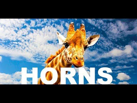 Giraffe With HORNS