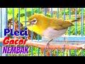 Pleci Gacor Nembak Isian Mewah Cocok Untuk Pancingan Toman Net  Mp3 - Mp4 Download