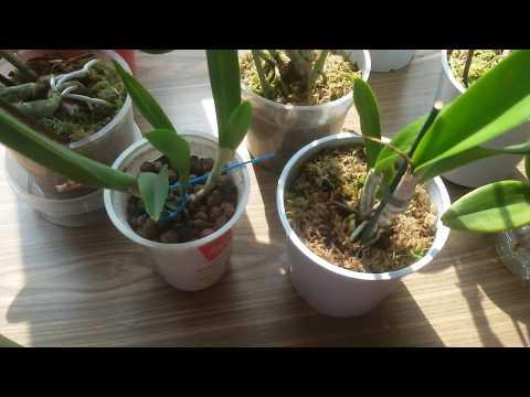 Цветение Орхидеи Каттлеи!Уход и содержание в домашних условиях!
