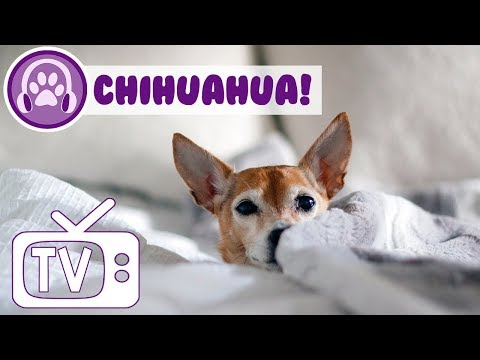 Dog TV: TV for Chihuahuas! Help Keep Your Nervous Chihuahua Calm and Relaxed with this TV and Music!