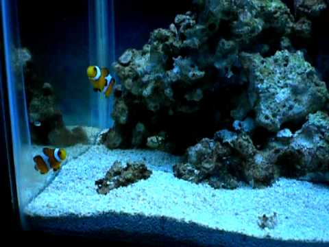 10 gallon reef tank youtube for Saltwater fish for 10 gallon tank