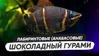 Шоколадный гурами / Содержание в аквариуме, обустройство аквариума, разведение, кормление