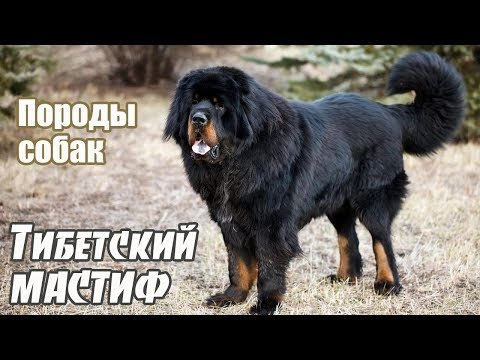 Породы собак. Тибетский мастиф