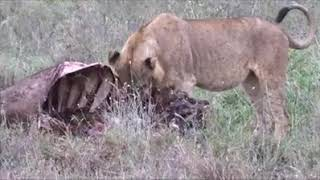 An awesome event: Lions shared the buffalo kill..