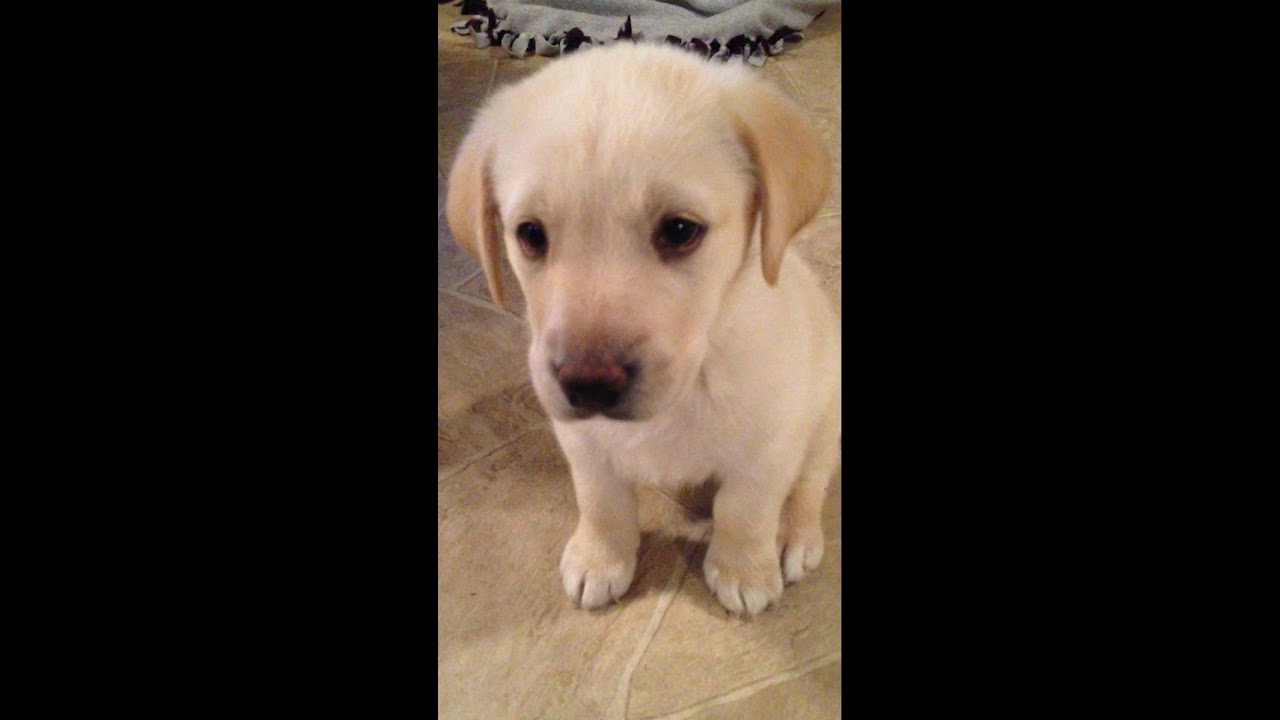 yellow lab puppy from
