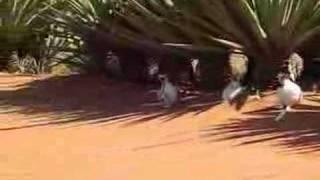 Sifakas Dancing