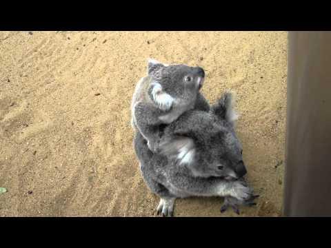 Baby koala running a little bit