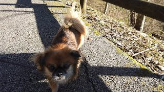 Exploring the Lake | Tibetan Spaniel Daki
