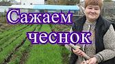 Чеснок сорта Харьковский фиолетовый. Классика. - YouTube