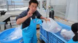 Isa Koi Farm - Packing of Jumbo Tosai Show for shipment.