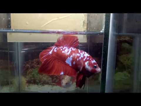 cupang Giant koi red Galaxy