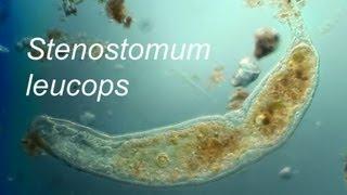 Stenostomum leucops