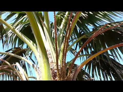 Kentia Palm - Howea forsteriana - Thatch Palmier HD 01