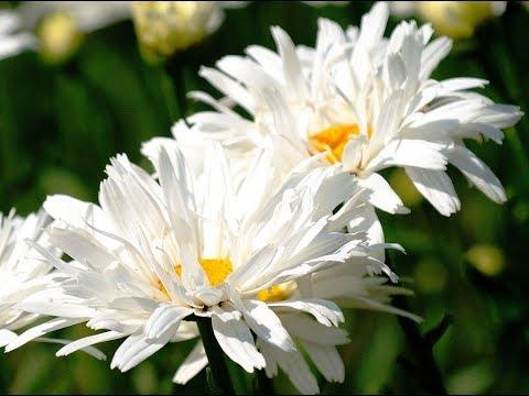 Ромашка садовая многолетняя - посадка и уход, размножение 34