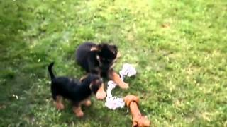 Dachshund/yorkie Pup Playing With German Shepherd Buddy