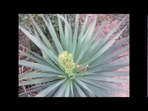 White yucca plant flowering youtube white yucca plant flowering mightylinksfo