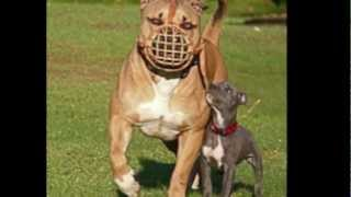 largest pit bull in the world ever
