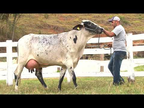 LOTE 12   279   AGROPECUÁRIA SÃO PEDRO   LEILÃO ALIANÇA GENÉTICA