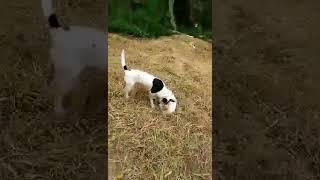 如需购买,请关注微信公众号:自然神奇探索中国猎犬,世界稀有犬种欣赏...