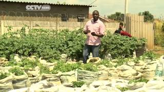 Zimbabwe: Potato Farming in Sacks
