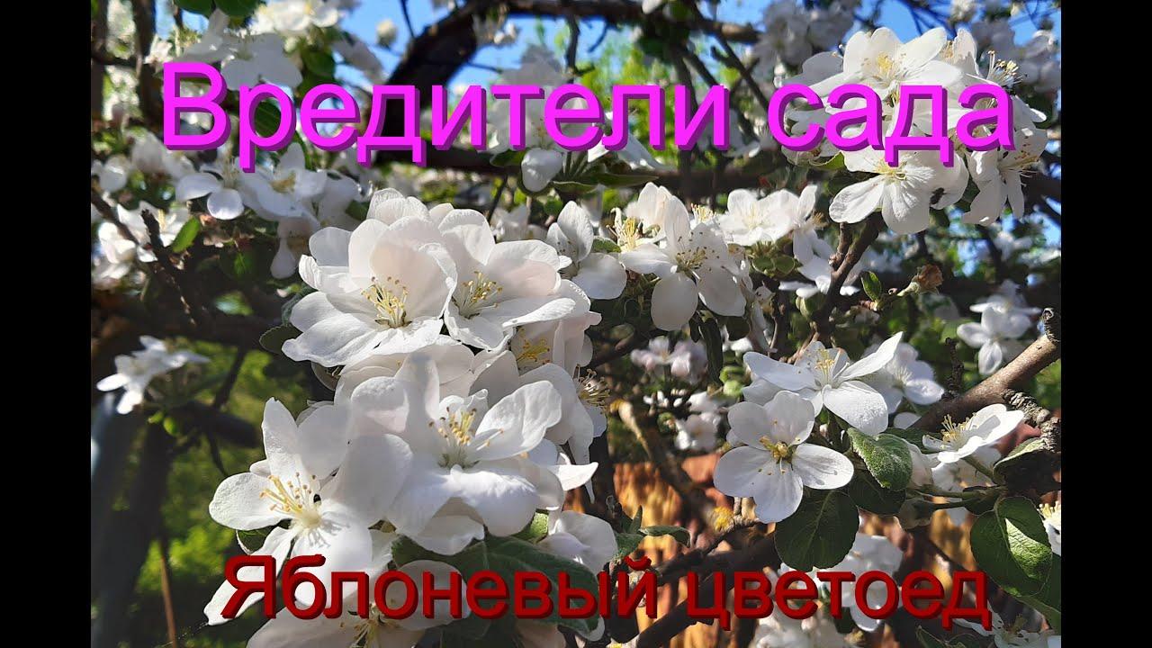 Вредители сада  Яблоневый цветоед