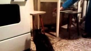 кот и волерянка