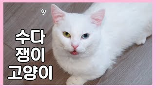 Talkative Munchkin Cat 🐱