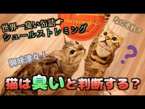 世界一臭い'シュールストレミング'を猫たちに嗅がせたら予想以上の反応だった。。。