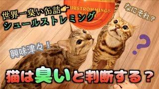 """世界一臭い""""シュールストレミング""""を猫たちに嗅がせたら予想以上の反応だった。。。"""