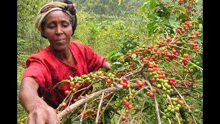 Coffee societies to be audited by the government | KTN News Centre
