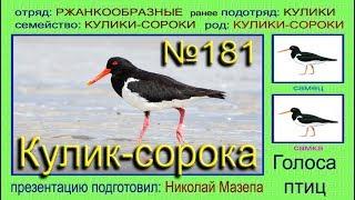 Кулик-сорока.  Голоса птиц