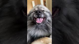 Fluffy Keeshond Loves Getting Pets