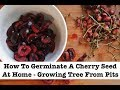 How To Germinate A Cherry Seed At Home - Growing Tree From Pits