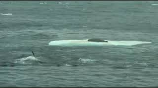 Охота китов-убийц. Касатки волной сбивают тюленя с льдины.