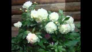 цветы пионы на даче и дачный ландшафтный дизайн(цветы пионы на даче и дачный ландшафтный дизайн. Подписывайтесь на канал Дача и цветы https://www.youtube.com/channel/UCLZzMdm..., 2015-05-08T15:24:23.000Z)