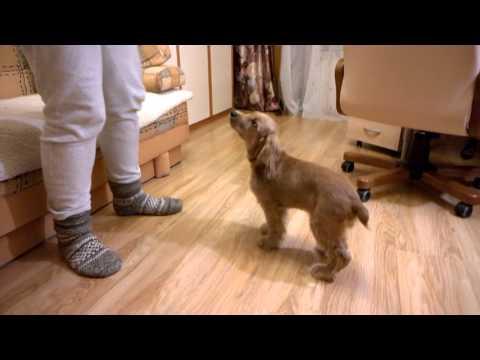 Топ 10 популярных пород собак Породы от А до Я Pedigree