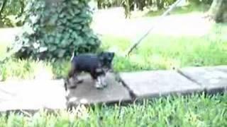 Abella Barba Kennel - Miniature Schnauzer Puppy - Joy