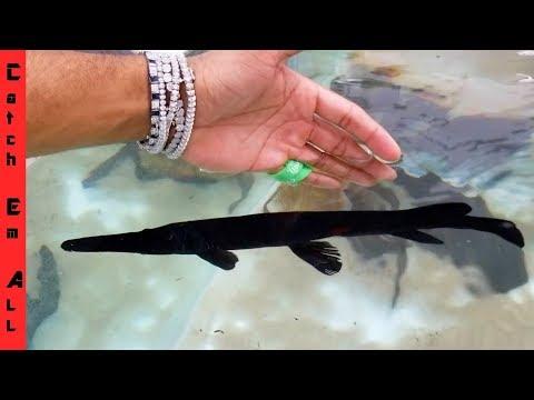 RAREST 100% BLACK GAR! Rare HIGH PRICED Black Fish