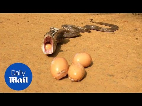 Incredible moment snake regurgitates seven whole eggs - Daily Mail