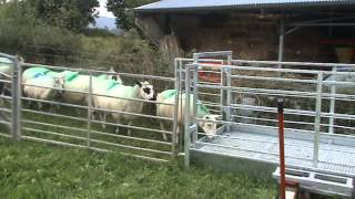 Prevent sheep lameness with new design footbath