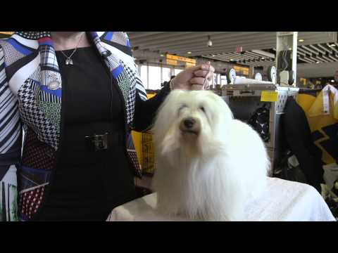 Why We Adore the Coton de Tulear