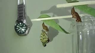 とある日、蝶の羽化を観察しました。