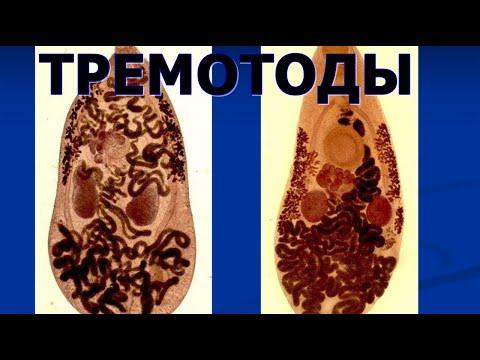 ТРЕМАТОДЫ Многосложные гельминты