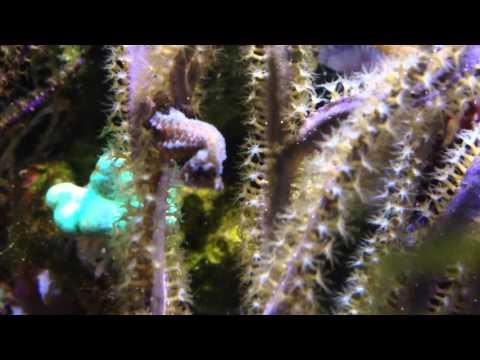 Dwarf seahorse herd 2/23/16