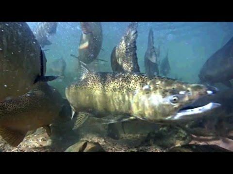 Underwater view of tippy dam manistee river reedsburg dam for Tippy dam fishing