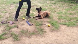 malinois pup Afie: down and stay/wait command