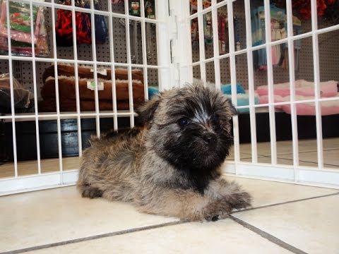 Cairn Terrier, Puppies For Sale, In Fresno, California, CA